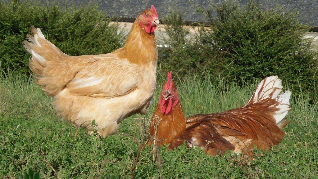 volailles-fermieres