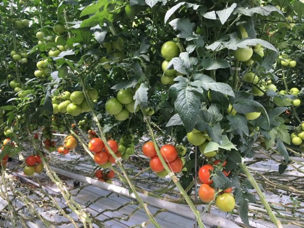 Greenhouse-tomato-vines-with-clips-web-624x468