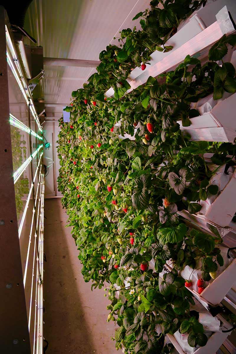 fraises-solution-novatrice-agriculture-1